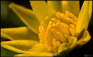 Lesser Celandine Up Close by KeldBach