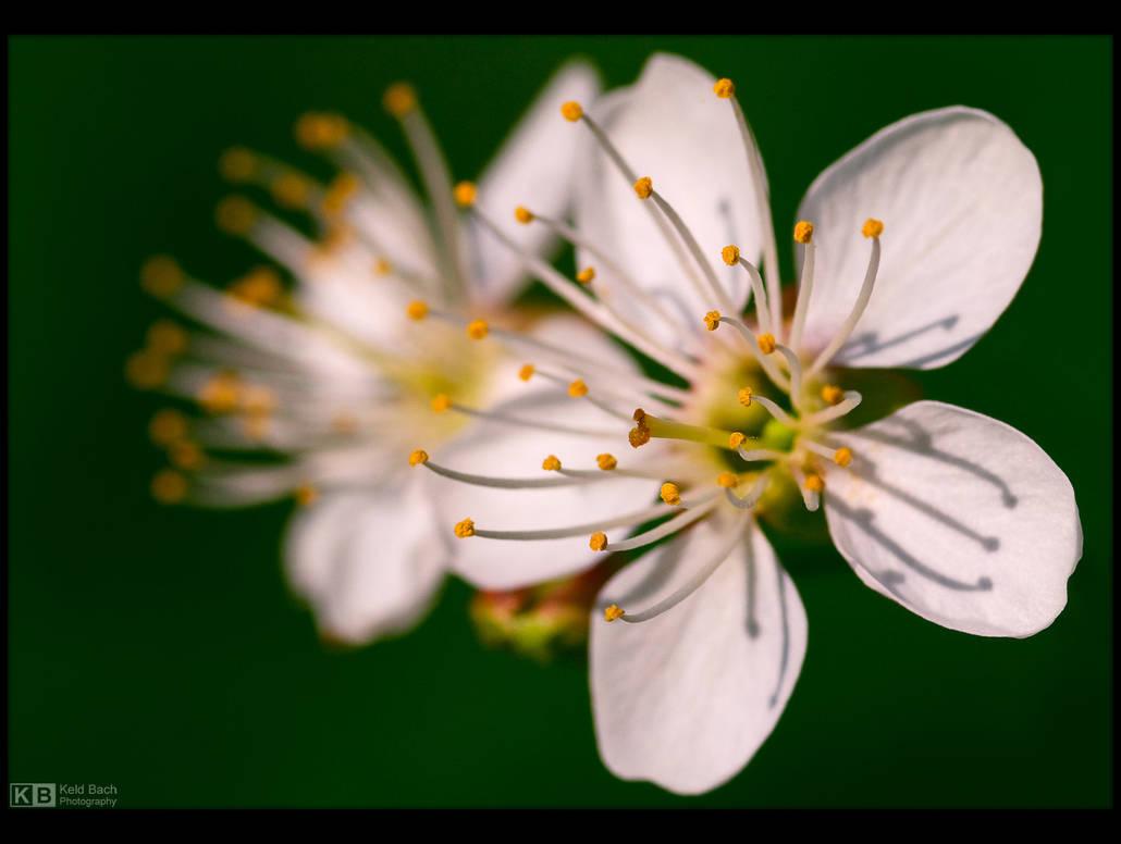 Cherry Blossoms by KeldBach