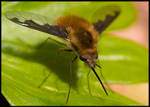 A Bee Fly