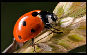 Ladybug by KeldBach