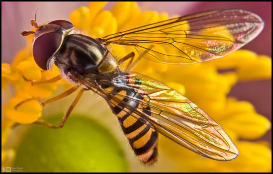 Hoverfly on Anemone