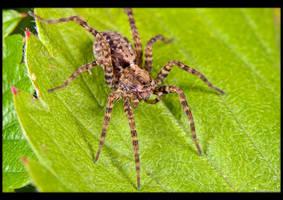 Wolf Spider by KeldBach