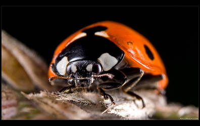 Ladybird by KeldBach