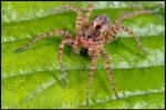 Wolf Spider Posing by KeldBach