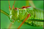 Specked Bush-Cricket