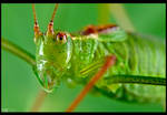 Specked Bush-Cricket by KeldBach