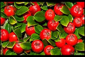 Red Berries by KeldBach
