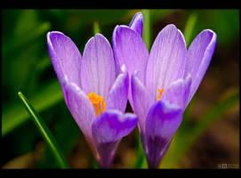 Violet Crocuses by KeldBach