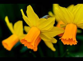 Narcissus by KeldBach