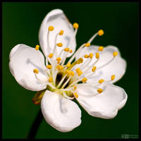 Cherry Bloom by KeldBach