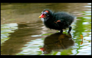 Moorhen Chicken 2 by KeldBach