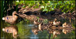 Mommy and Ducklings