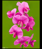 Pink Lathyrus by KeldBach