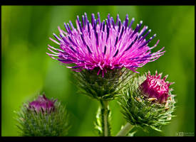 Marsh Thistle by KeldBach