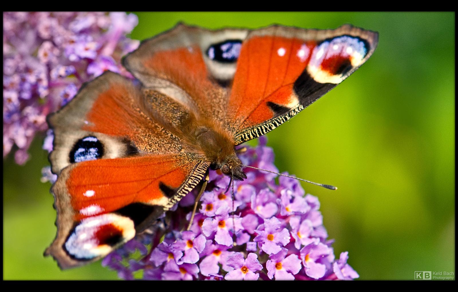 Peacock Butterfly by KeldBach
