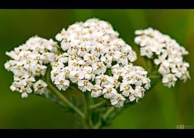 White Yarrow by KeldBach
