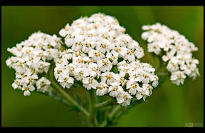 White Yarrow by KeldBach