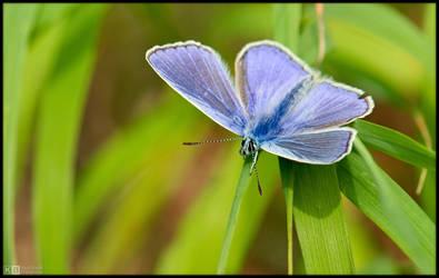 Mr. Common Blue by KeldBach
