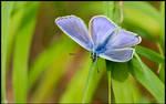 Mr. Common Blue