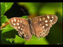 Speckled Wood by KeldBach