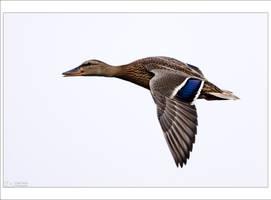 Mallard in Flight by KeldBach