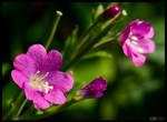 Pink Beauty by KeldBach