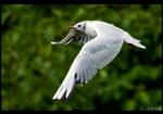 Black-Head in Flight by KeldBach