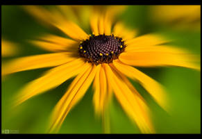 Black-Eyed Susan by KeldBach