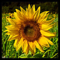 Sunflower by KeldBach