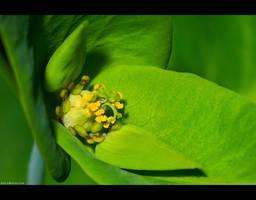 Petty Spurge Blossom by KeldBach