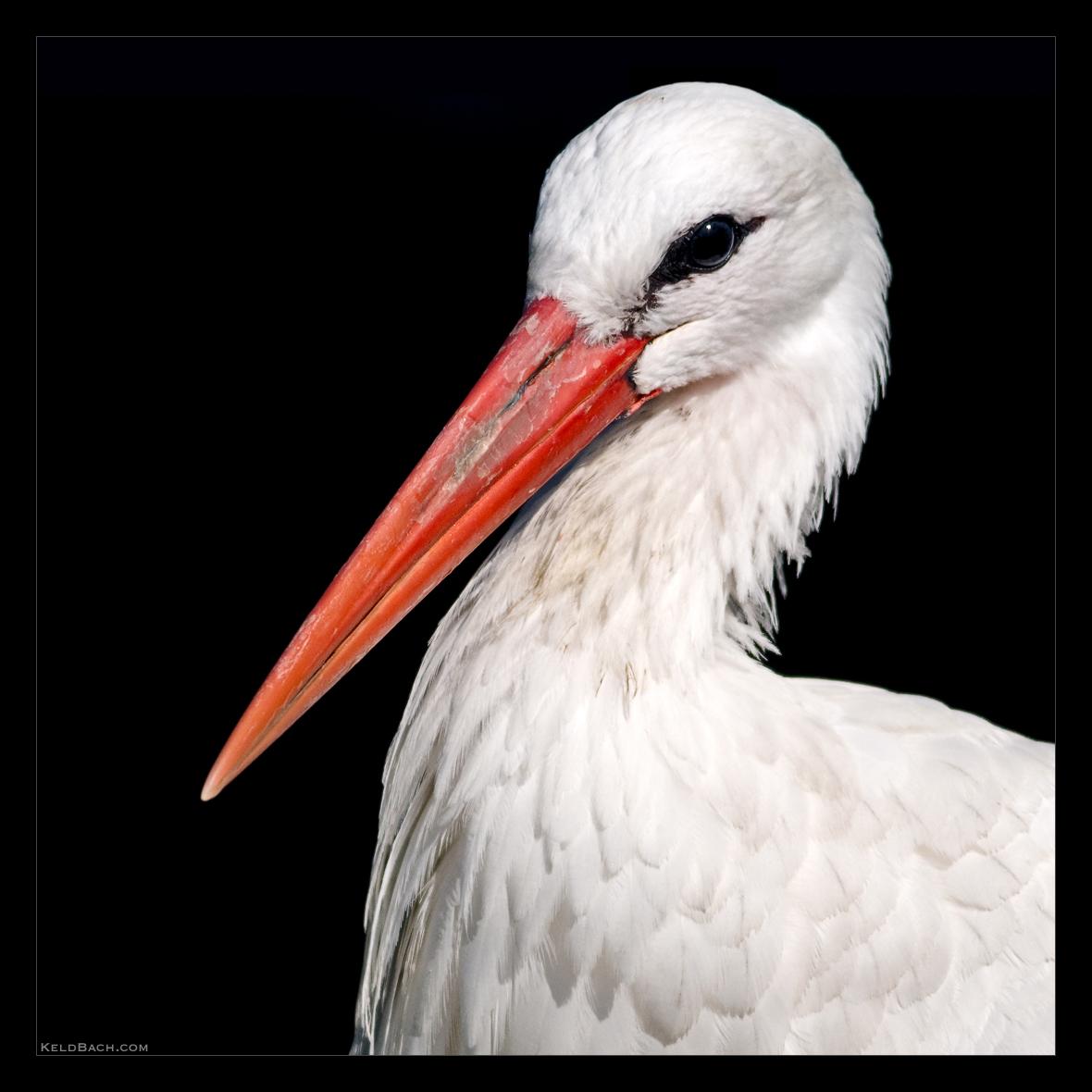 Stork Portrait by KeldBach