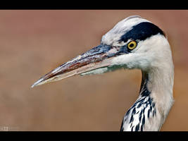 Heron Up Close by KeldBach