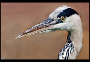 Heron Up Close by KeldBach