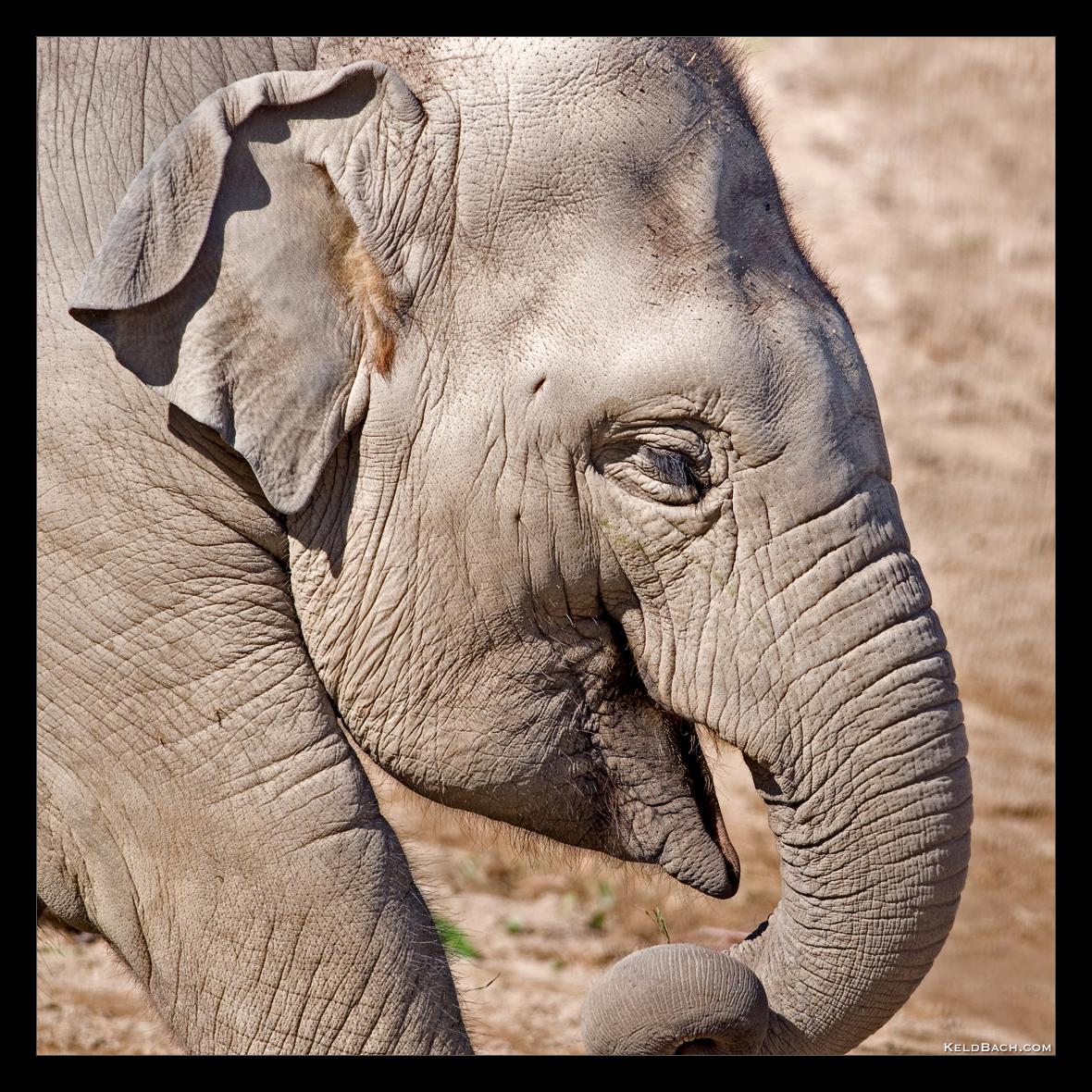 Baby Elephant Walk by KeldBach