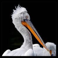 Proud Pelican by KeldBach