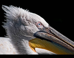 Pelican Up Close by KeldBach