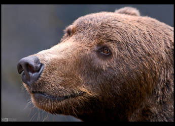 Brown Bear Portrait by KeldBach