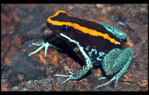 Dyeing Poison Frog by KeldBach