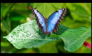 Blue Morpho by KeldBach