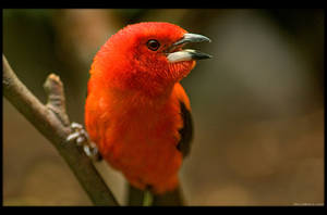 Brazilian Tanager 2 by KeldBach