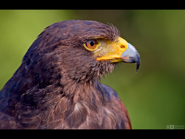 Harris' Hawk Portrait by KeldBach