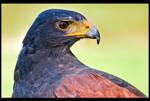 Harris' Hawk Up Close by KeldBach