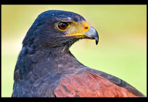 Harris' Hawk Up Close by KeldBach