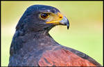 Harris' Hawk Up Close