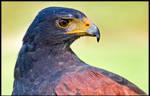 Harris' Hawk Up Close