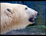 Polar Bear Profile by KeldBach