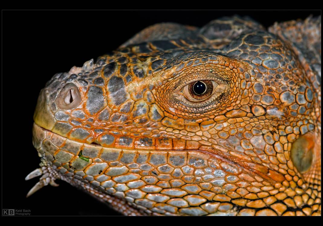 Iguana Profile by KeldBach
