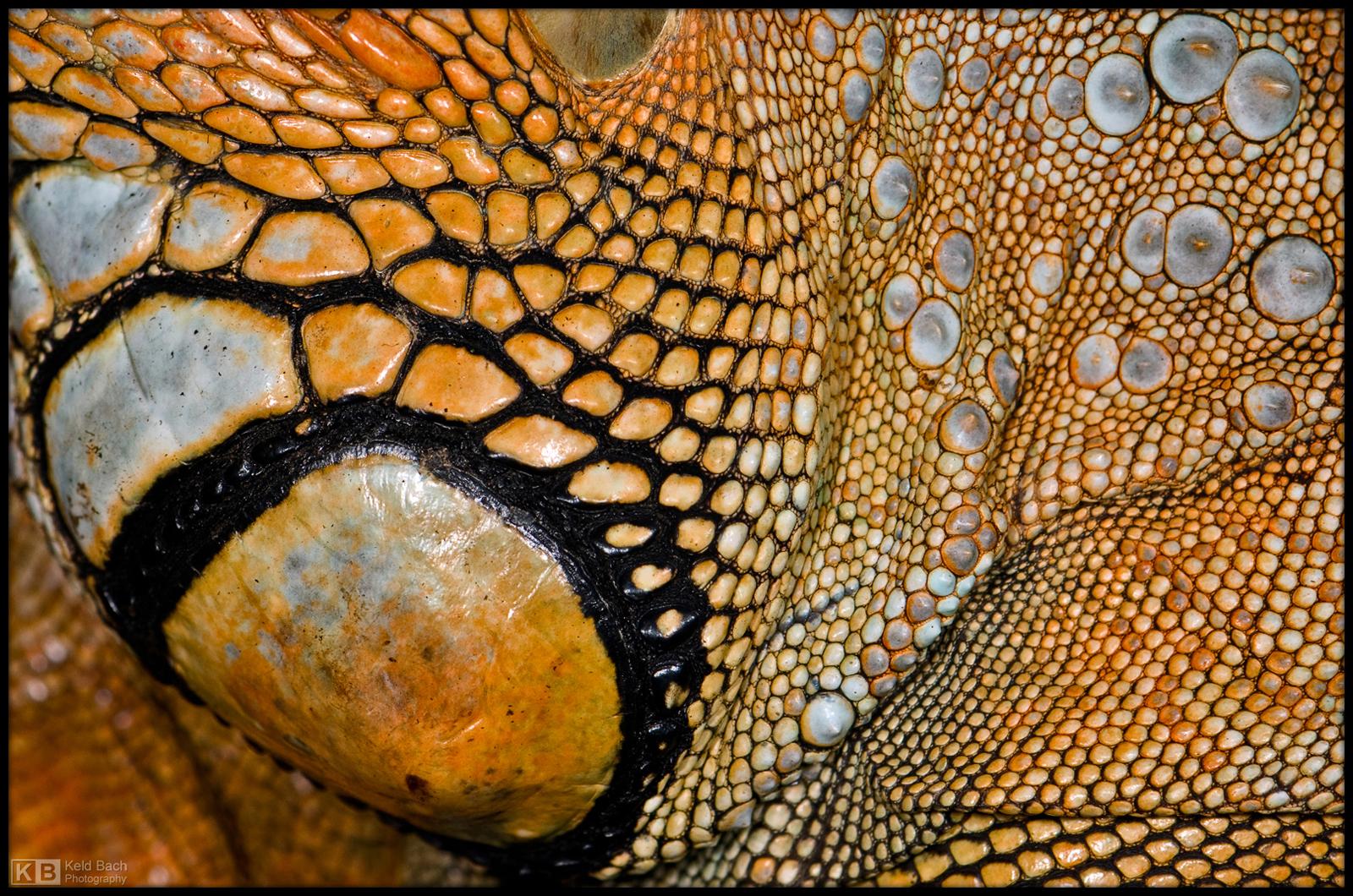 Iguana Texture