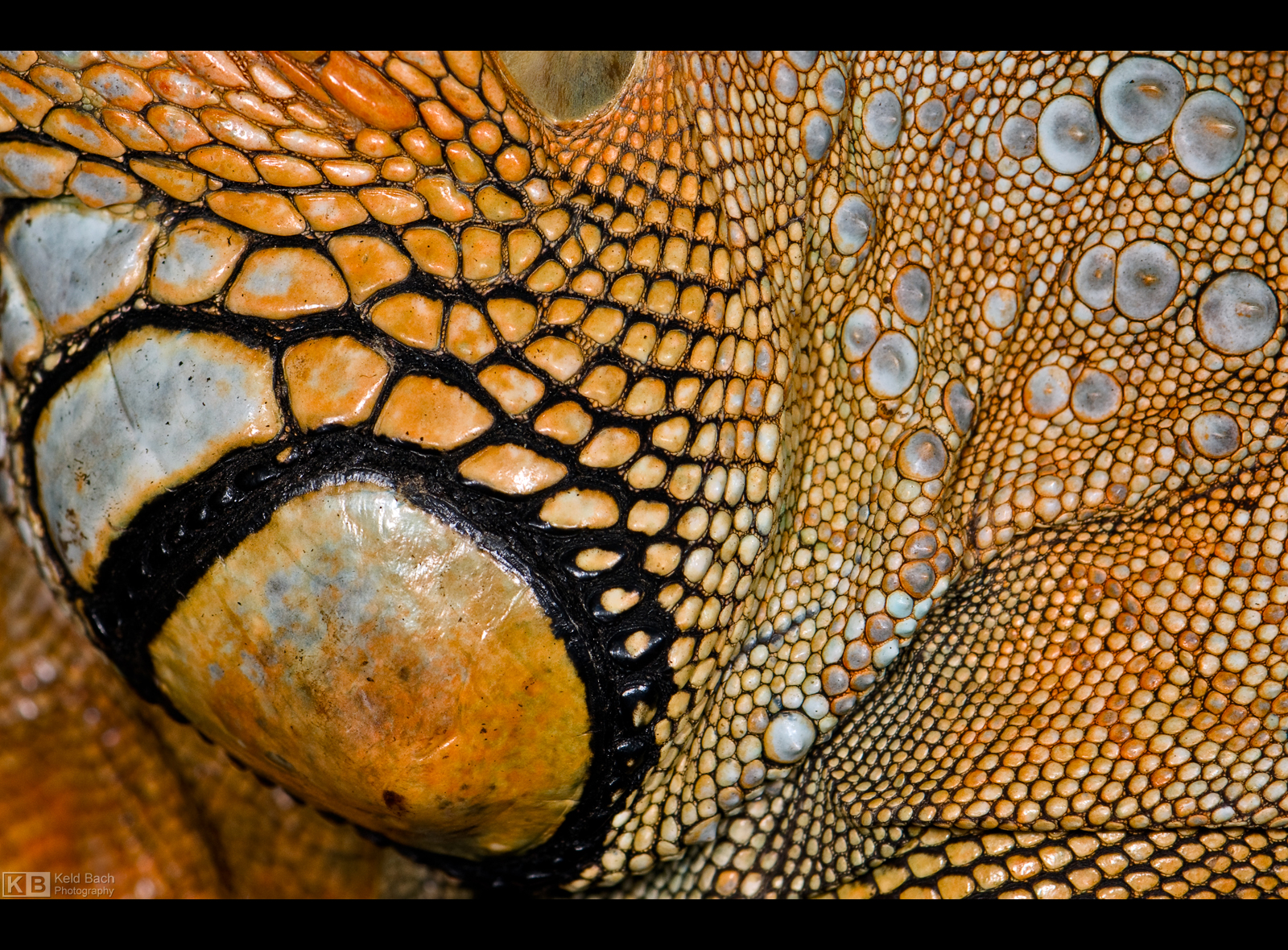 Iguana Texture by KeldBach