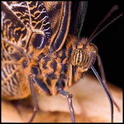 Owl Butterfly Macro by KeldBach
